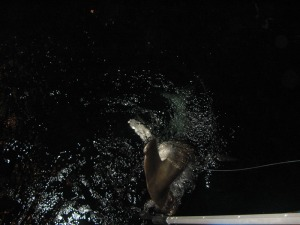 Hammerhead shark breaking the surface of the water