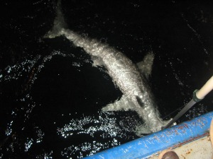 Hammerhead being cut from fishing line for release