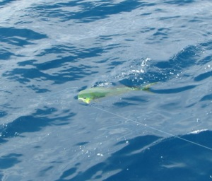 Trolling with a hooked dolphinfish