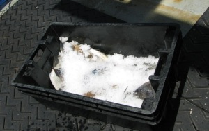 Fish are covered in ice before the bin cover is snapped on