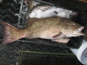 Gag grouper ready for its work up