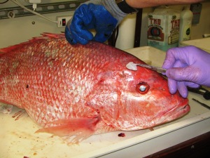Red snapper with removed otolith