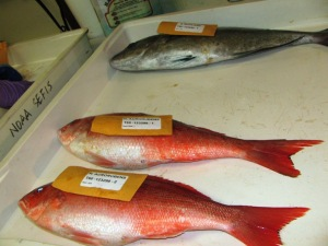 Vermilion snappers and scamp, labeled and  ready for dissection