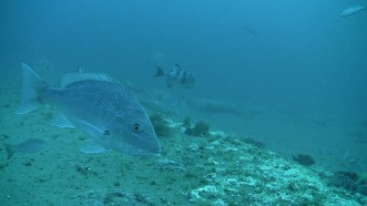 Red snapper swimming near a fish trap