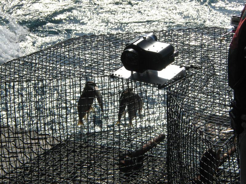 Chevron fish traps noaa teacher at sea blog for Bait fish trap