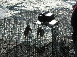 Menhaden bait fish
