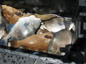 A good catch of scamp and gray triggerfish