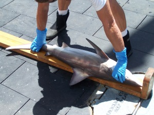 Carribbean Reef Shark: Measuring Length