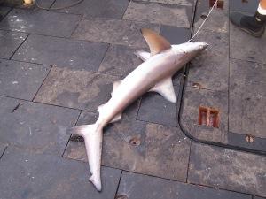 Carribbean Reef Shark