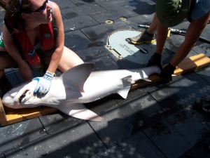 Measuring a Sandbar Shark
