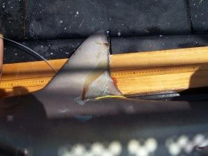 Tagged Sandbar Shark