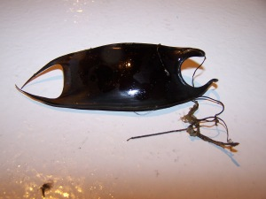 Mermaid's Purse (egg case from a skate or ray)