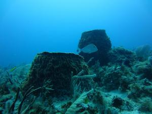 "These 2 sponges are over 100 years old. They are known as the ""Redwoods of the Reef."" Photo by Hatsue Bailey."