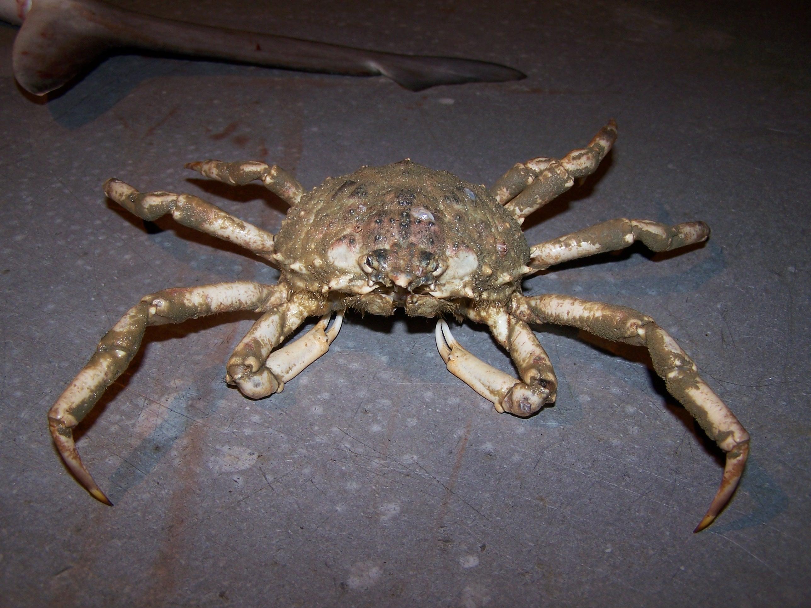Spiders Of Cape Cod Part - 25: Spider Crab