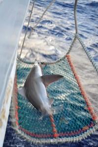 Shark in basket