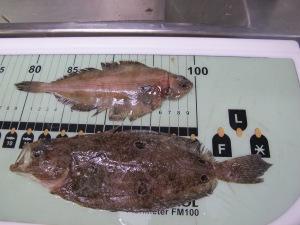 Right Eye Flounder (Top) Left Eye Flounder (bottom)