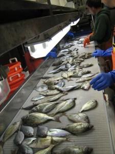 Processing Fish