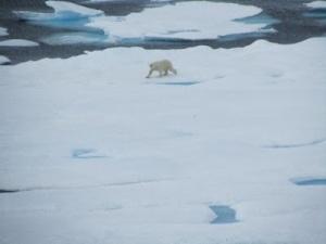 Polar Bear Walking in the distance