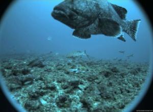 Big Grouper