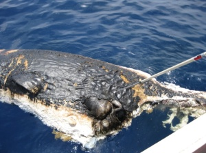 Black substance on sperm whale