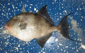 Grey Triggerfish