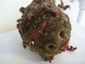 Cymothoid isopod