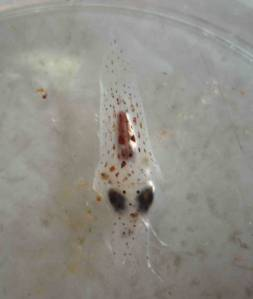 Tiny squid collected in a vertical net and viewed under microscope on Crescent City transect line at 41 deg 54 min North.