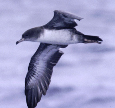 Pink-footed Shearwater (Puffinus creatopus): Blackish-brown above; white wing underparts, a bit mottled; Range: spends summers in northern Pacific; winters in Chile