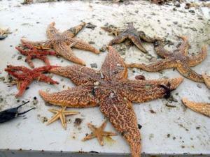 Starfish are plentiful on this catch!