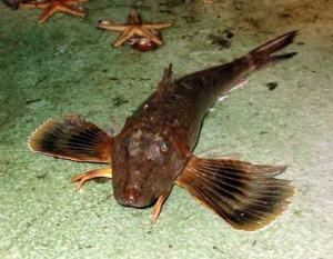 A Robin Fish—look at those eyes!