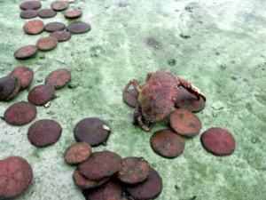 See the green secretions around the Sand dollars and the Jonah Crab?