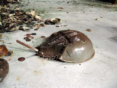 Horseshoe Crab Egg Sac