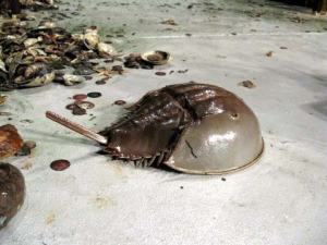 A Horseshoe Crab hurries across the sorting table.