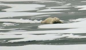 A polar bear, spotted by George, travels over thin ice by spreading out his body weight.  (Photo courtesy of Pat Kelley USCG)