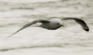 Sometimes kittiwakes follow the ship.  I caught this one as it passed by the Healy.