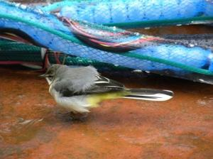 A yellow wagtail has been seen from the ship in the past few days.  I wonder what this bird is doing so far out to sea - ideas?