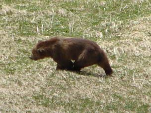 The brown bear going down Barometer Hill. It covered the distance quite quickly and made it to the base of the mountain in about 10 minutes, much quicker than my hiking speed.  Photo courtesy of David Francksen.