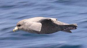 A Northern Fulmar (Courtesy Aaron Lang, USFWS)