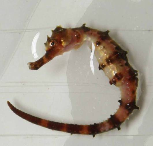 "A ""caught and released"" seahorse"