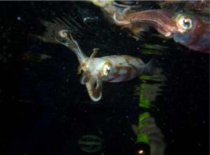 Clare Wagstaff barely visible behind two Caribbean Reef Squid. Photo courtesy of Mike Henley.