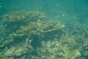 Elkhorn coral (Acropora palmata) and numerous Sergeant Majors (Abudefduf  saxatilis)
