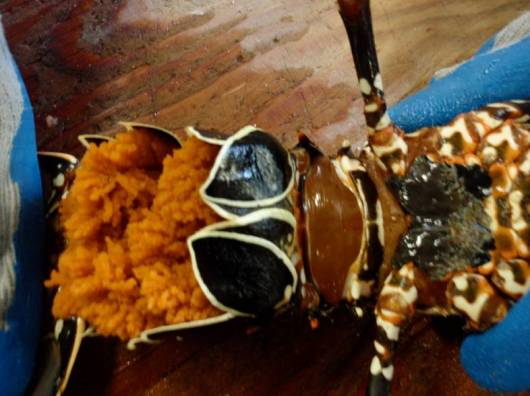 This is a picture of a spiny female lobster that is berried (carrying eggs, they are orange). You can also see the pleopods, which are the black with an outline of white flipper like structure. Above that, between the two legs, is the sperm plate. You can tell that she has begun to scratch the sperm off because of the rough texture.