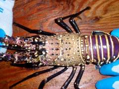 This is a picture of the top half of a spiny lobster. The carapace is the section between the eyes all the way to where the head ends and the tail starts.