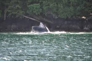 Humpback whale photo courtesy of Ian Colvert