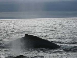 Two whales surfaced near the survey launch early in the morning near Bluff Point in the Pavlof Islands.