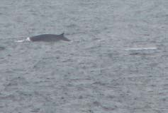 It was certainly a thrill to see the first whale of the trip. The pod was spotted just off the bow of the ship andlater seen in the distance.