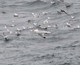 The center bird is a blacklegged kittiwake, identified by the black wing tips, white underwing and the light gray color on its back.