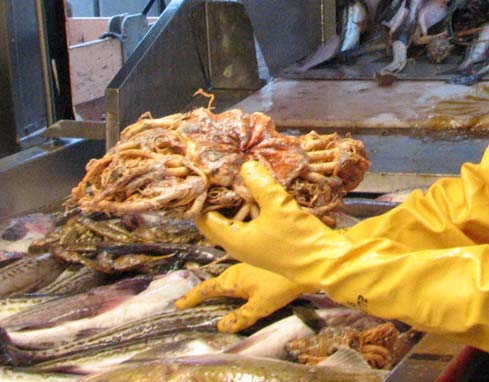 Basketstars were brought up in a bottom trawl. Hermit crabs and snails were also caught in the bottom trawl.