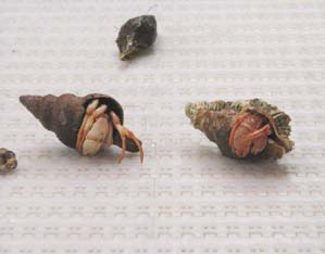 Hermit crabs and snails were also caught in the bottom trawl.