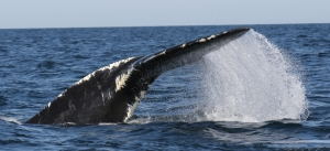 Right whale with entanglement scars.